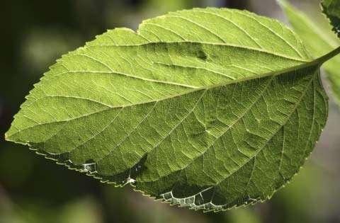 Observe a Leaf